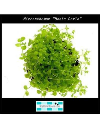 "Hygrophila corymbosa var salicifolia ""Narrow"""